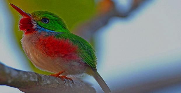 Tocororo, Cuban Birding Tours